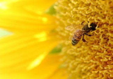 Hogyan segít a méhpempő a méregtelenítésben?